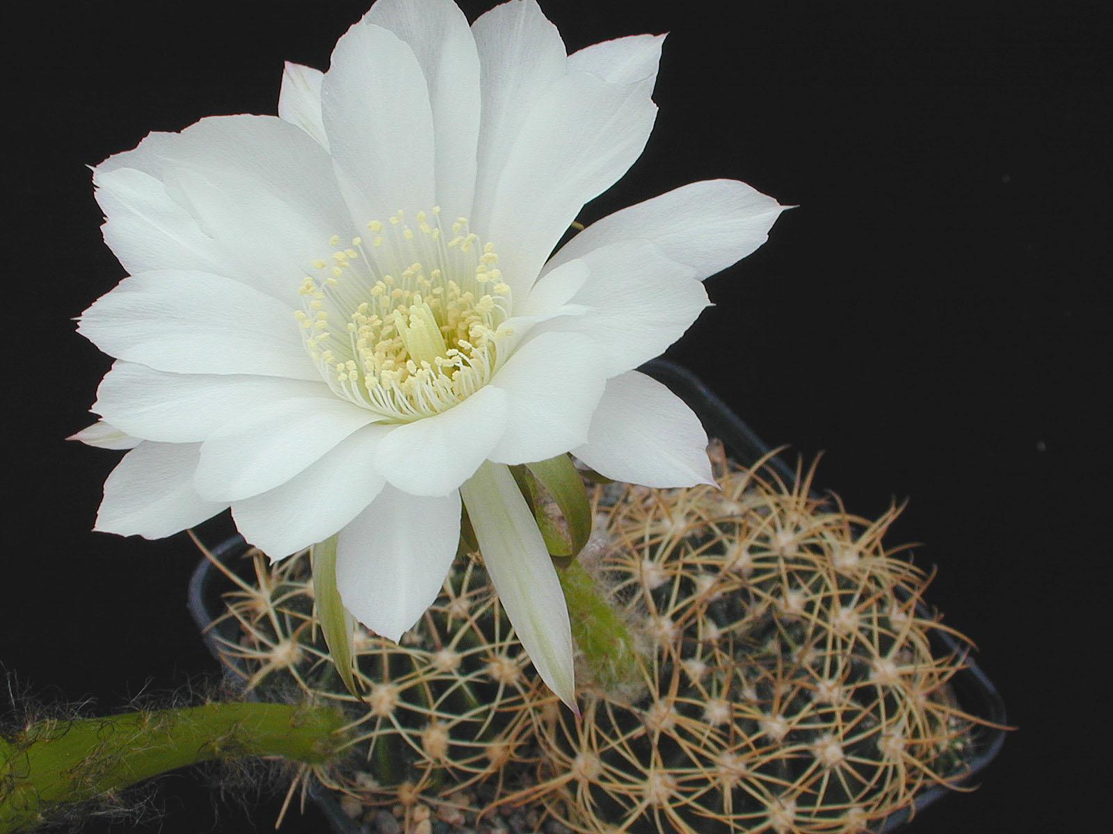 Semis d'Echinopsis (cactus) 1142454-origpic-0db8e3