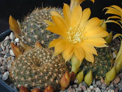 Semis de Rebutia (cactus) - Page 2 1145500-origpic-706ec7