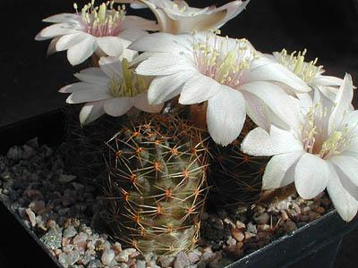 Mes petites plantes grasses et cactées - Page 6 1145719-origpic-35fc8a
