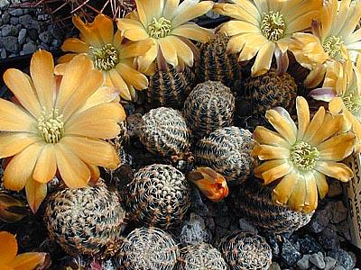 Semis de Rebutia (cactus) 1145766-origpic-c612c1