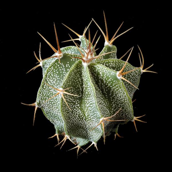 Semis d'Astrophytum (cactus) - Page 2 1141724-origpic-313e26