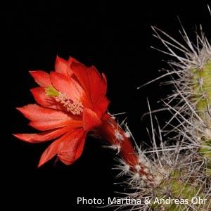 Echinocereus klapperi (Mexico, Sonora, El Novillo)