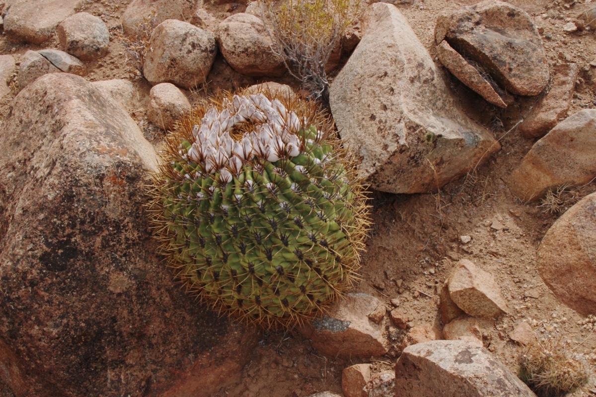 Succseed eriosyce aurata 39 ceratistes 39 jn 887 combarbala for Feroxcactus chile