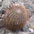 Acanthocalycium thionanthum  MN 292 (Angostaco, 2000 m, Salta, Arg)