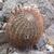 Acanthocalycium thionanthum  MN 292 (Angostaco, 2000 m, Salta, Arg)