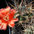 Acanthocalycium thionanthum v. erythrantha  DH 8