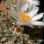 Ariocarpus kotshoubeyanus 'albiflorus'
