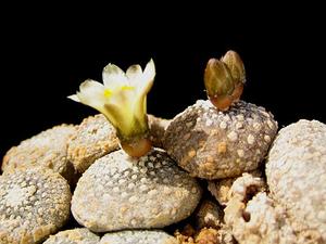 Blossfeldia liliputana 'sucrensis' KK 1704