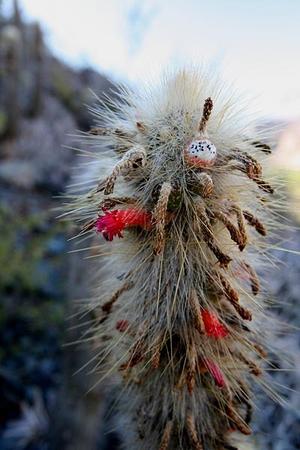 Cleistocactus hyalacanthus  MN 339 (Tumbaya, 3100m, Jujuy, Arg)