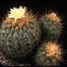 Copiapoa cinerea v. gigantea 'haseltoniana' FK 33 (Paposo)