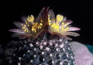 Copiapoa humilis v. tenuissima FK 779 (El Cobre)
