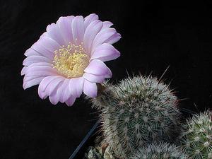 Echinocereus lauii Lau 780