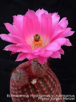 Echinocereus rigidissimus v. rubrispinus Lau 088
