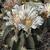Stenocactus coptonogonus SB 13 (Salinas, SLP)