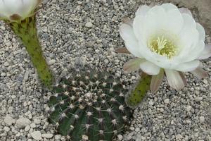Echinopsis ancistrophora MN  20 (Escoipe, Arg)
