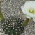 Echinopsis ancistrophora MN  20 (Escoipe, Arg)