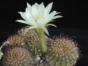 Echinopsis ancistrophora MN 201 (Campo Quijano, Km 30, Arg)