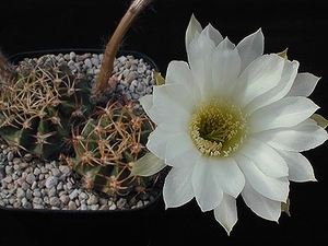 Echinopsis obrepanda  WR 50