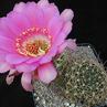 Echinopsis obrepanda  WR 628