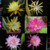 Epiphyllum HYBRID MIX
