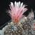 Eriosyce crispa FK 78 (Maitencillo, 300m, Chile)
