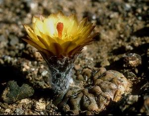 Eriosyce heinrichiana  FK 470 (Rio Choros)