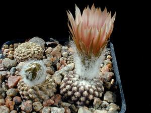 Eriosyce odieri subsp. fulva FK 529 (Totoral)