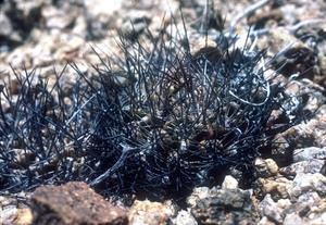 Eriosyce taltalensis FK 511 (Q. de Guanillos, 150m, Chile)