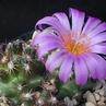 Escobaria hesteri SB 430 (Brewster Co, TX)