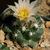 Escobaria missouriensis ssp. navajoensis RP 33 (Navajo Co, AZ)