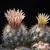 Escobaria muehlbaueriana
