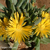 Faucaria albidens