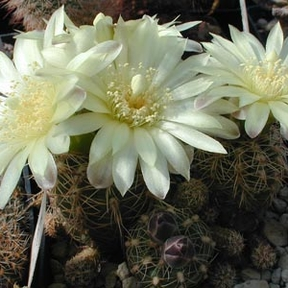 Gymnocalycium andreae MN 80 (Capilla del Monte, Arg)
