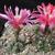 Gymnocalycium baldianum P 127 (Sra Ancasti, Arg)
