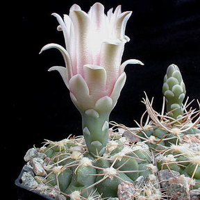 Gymnocalycium capillaense MN 75 (Capilla del Monte, Arg)