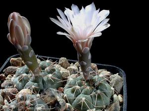 Gymnocalycium poeschlii GN 24/387 (La Petra, S.L, Arg)