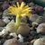 Lithops coleorum
