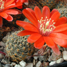 Rebutia atrovirens v.  MN 234 (Iruya, Arg)