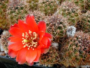 Rebutia atrovirens v. 'brunneoradicata'  FR 1109 (San Antonio, Mendez, Bol)