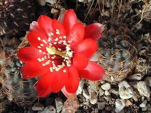 Rebutia atrovirens v. 'pauciareolata' FR 1121 (San Antonio, Bol)