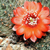 Rebutia atrovirens v. haefneriana RH 339 (Ex brunescens 99) (Esquire, 3950m, Bol)