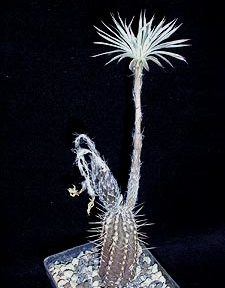 Seti-echinopsis mirabilis