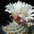 Strombocactus disciformis  VB 15