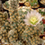 Tephrocactus molinensis