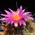 Thelocactus matudae