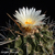 Thelocactus rinconensis