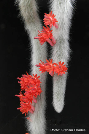 Hildewinteria colademononis  WK 950  (Cleistocactus winteri ssp. colademono) (Cerro el Fraile, Florida, Santa Cruz, Bol)