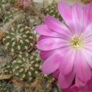 Lobivia wrightiana spp. winteriana BLMT 468.04