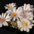 Ariocarpus kotschoubeyanus 'albiflorus' RS 603 (Tula, Tamaulipas, Mexico)