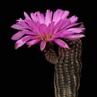 Echinocereus scopulorum ssp. pseudopectinatus (Nacozari, Sonora, Mex)